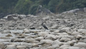 The white-bellied heron was spotted at Walong