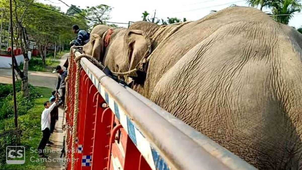 Captive elephants headed to Odisha from Arunachal Pradesh intercepted on NH-38 in Assam's Tinsukia district