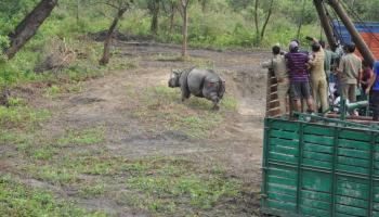 rhinos translocated to manas