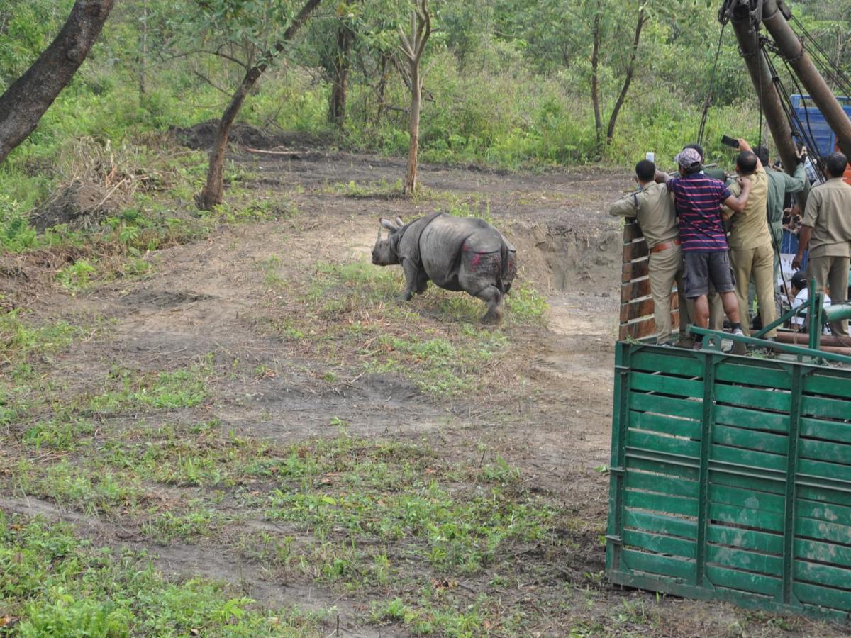rhinos translocated to manas