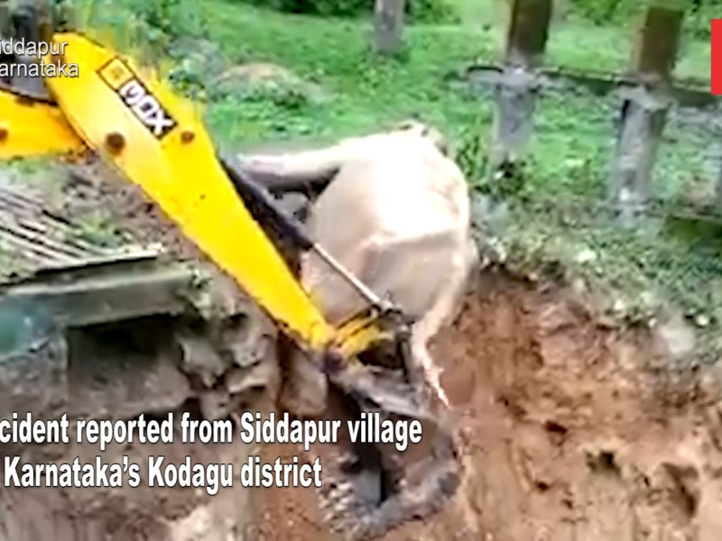 Elephant falls into ditch, forest officials use excavator for rescue