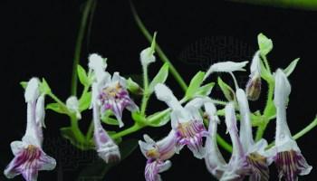 New species of African Violet discovered in Mizoram