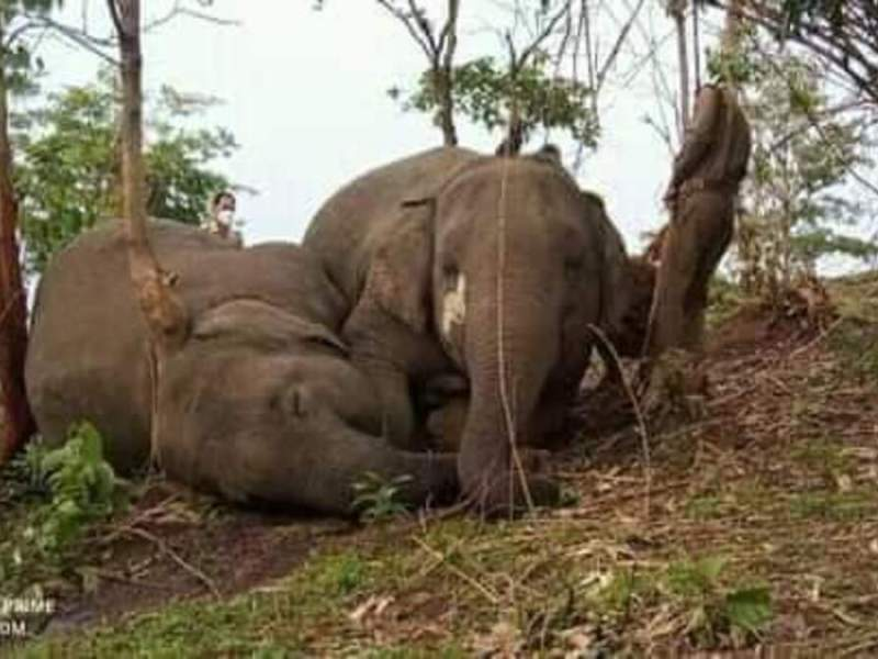 The 18 wild elephants, found dead in Nagaon district of Assam last month, were killed due to accidental electrocution by lightning