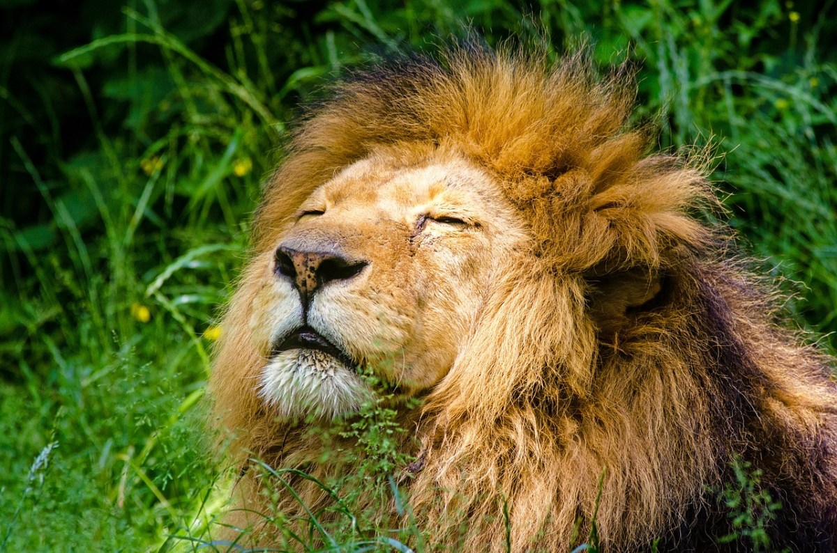 8 lions test COVID-19 positive at Hyderabad zoo