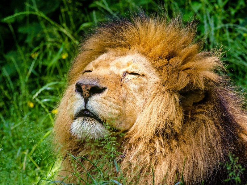 Another lion dies of COVID-19 in Tamil Nadu zoo