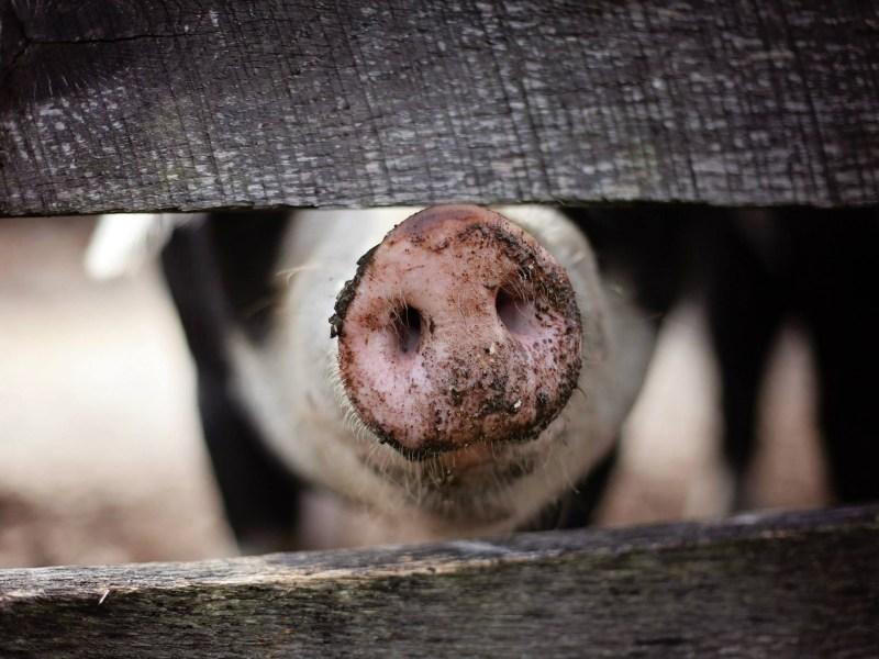 African Swine Fever looms over Mizoram amidst COVID crisis