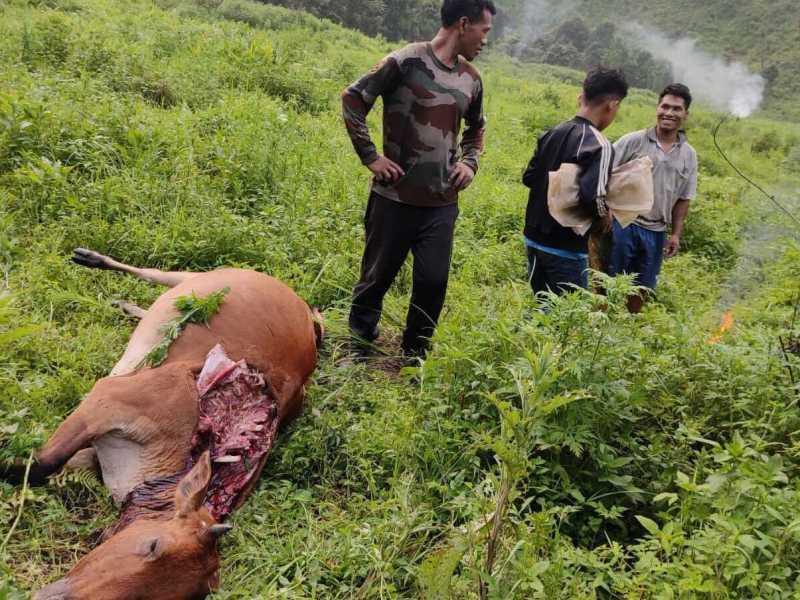 Manipur: Tiger attacks herd of cows, kills 3 in Tamenglong