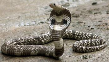 World Snake Day: 4 magnificent snakes of India