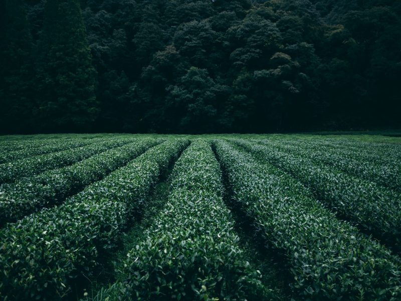 Suspension of mandatory permission for tea cultivation won't impact industry: Tea Board chairman