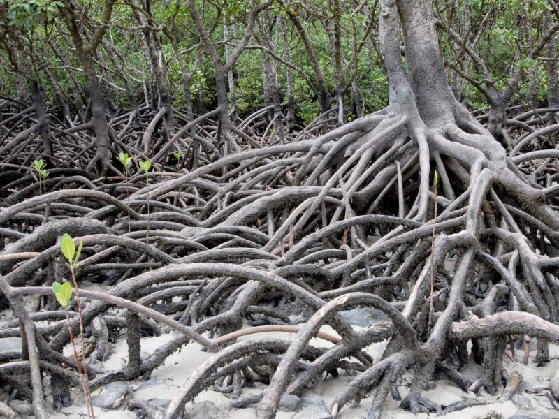Genome of salt-secreting mangrove species decoded by DBT