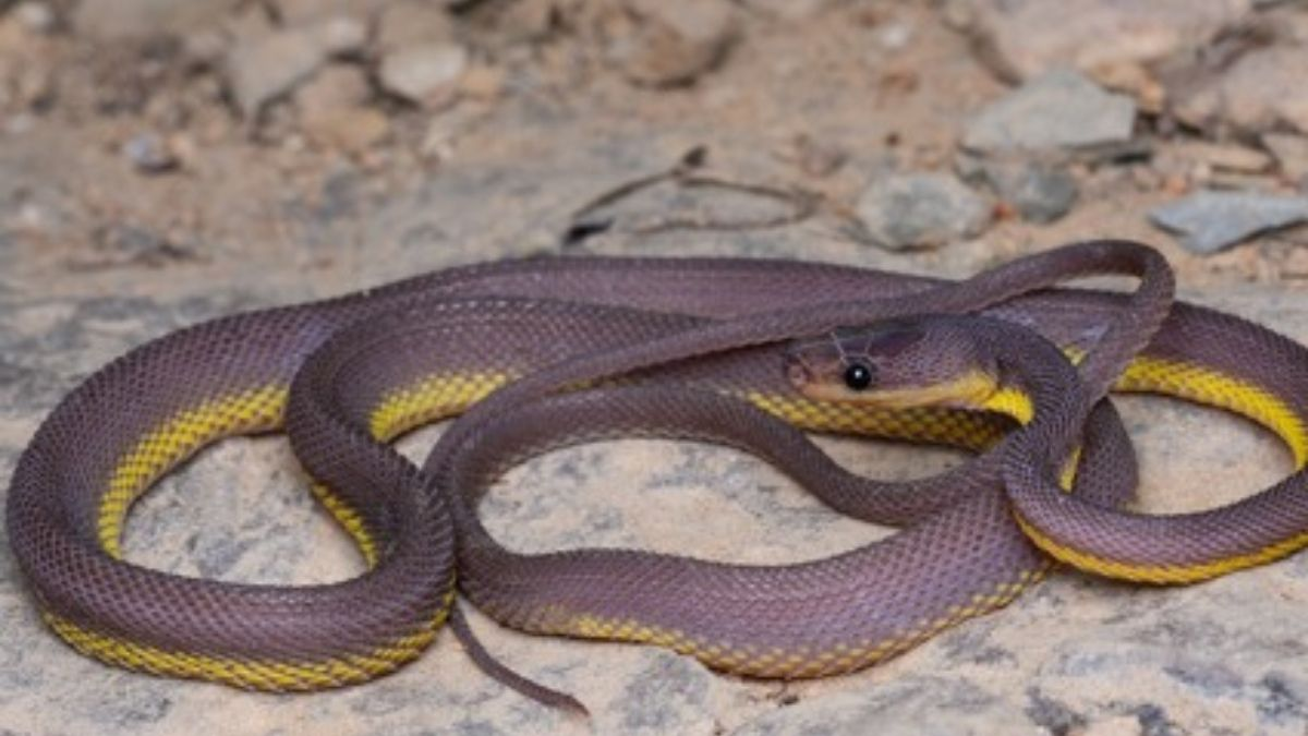 New species of non-venomous snake discovered in Mizoram