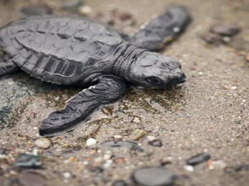 Assam: 63 rescued turtles airlifted from Pune; to be released into wild