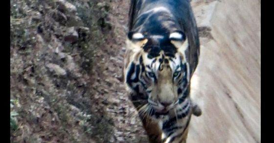 Scientists unravel mystery behind Odisha's 'black tigers'