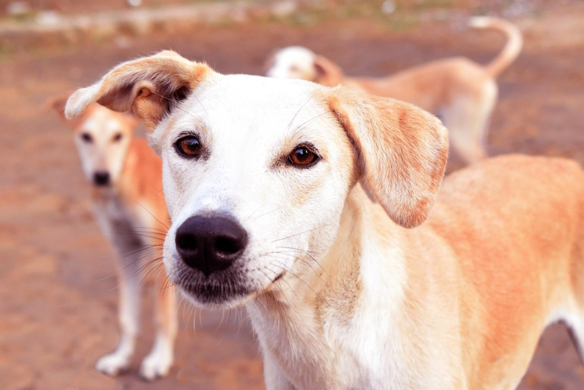 Stray dogs acid attack