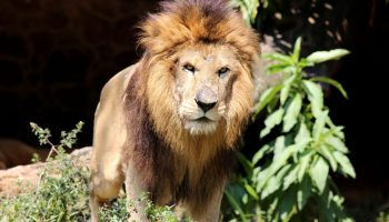 Gujarat: 8-year-old girl mauled to death by lions in Amreli
