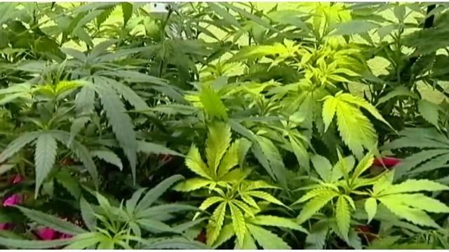 Marijuana generic_1542205371074.PNG_62171738_ver1.0_640_360_1542563476958.jpg.jpg