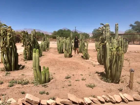 cacti field atacama rachel