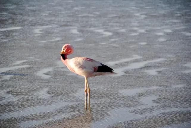 chaxa lagoon atacama flamingo