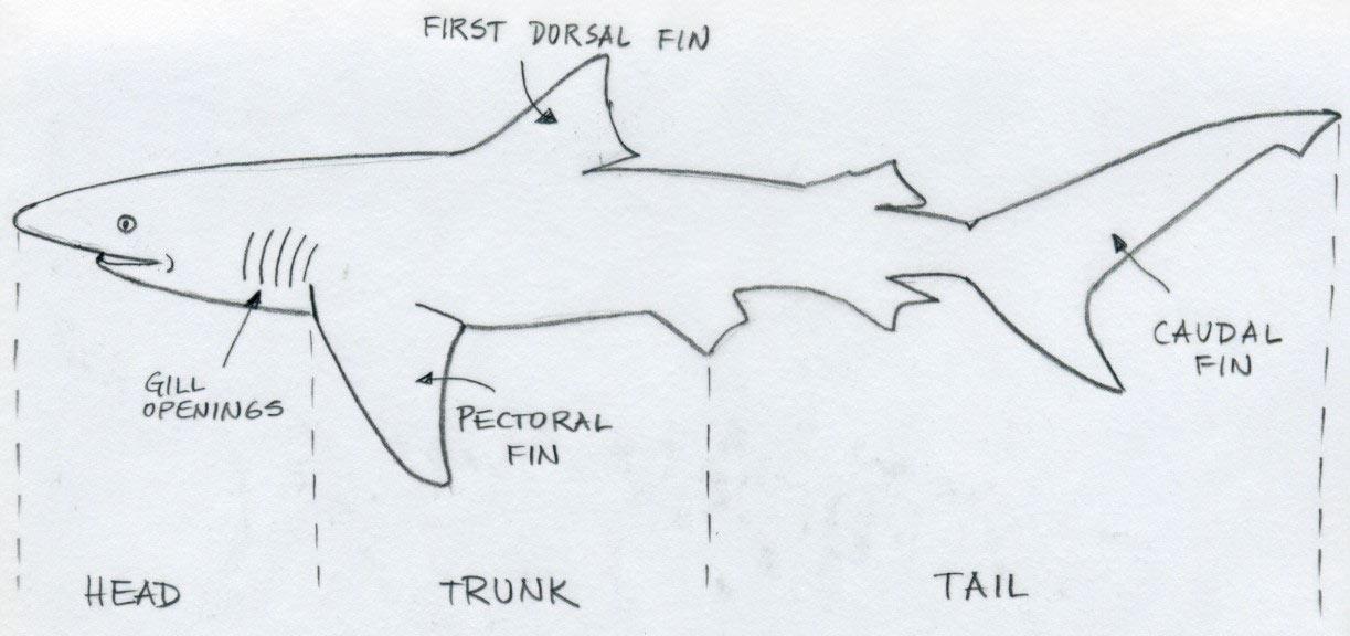 Draw Shark. Basic Tutorial.