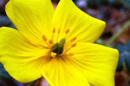 Tribulus flower