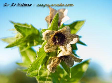 henbane flower