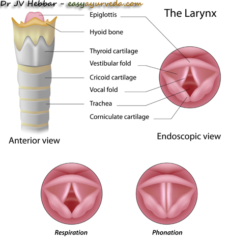 larynx - Voice box