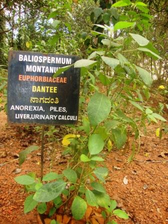 Baliospermum montanum plant