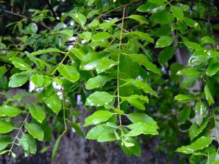 Sandalwood leaves