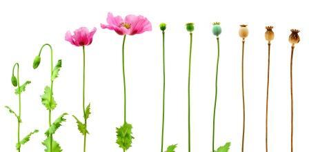 evolution of opium poppy