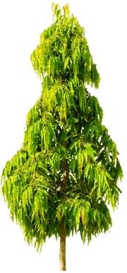 Mast tree - Polyalthia longifolia