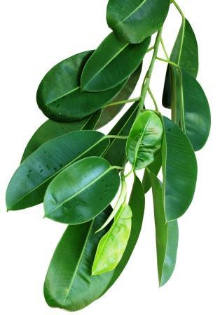 Alexandrain laurel leaves