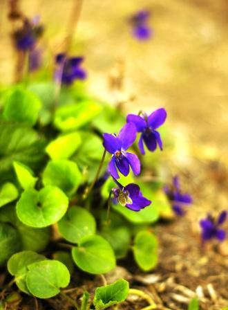 Viola odorata plant