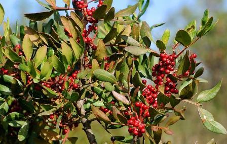 Rumi Mastagi leaves and fruits copy