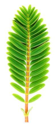 Sesbania grandiflora leaves