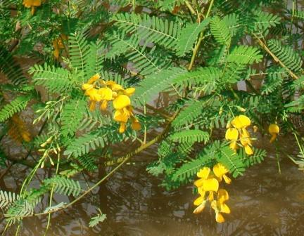 Sesbania sesban leaves and flower
