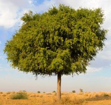Shami tree - prosopis cineraria