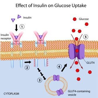 Effect of Insulin on glucose uptake1