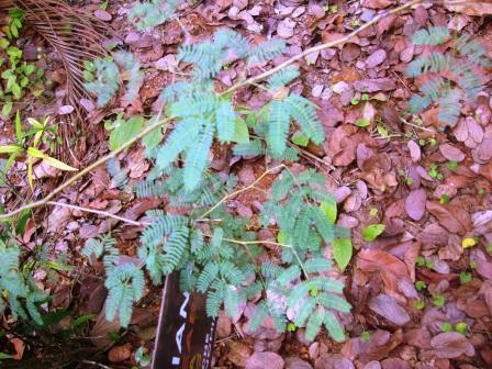 Vachellia farnesiana small plant