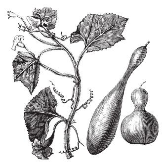 Bottle gourd, calabash