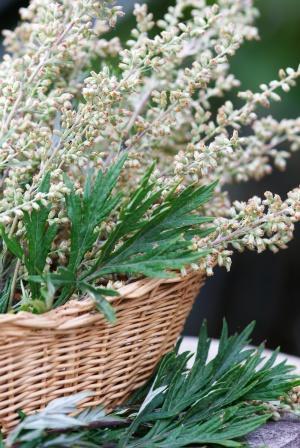 mugwort plant