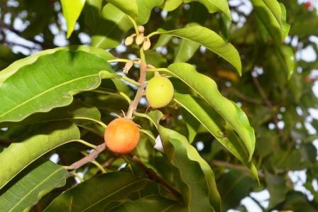 Medlar, Maulsari fruit leaves