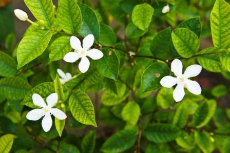 Yuthika Jasminum auriculatum
