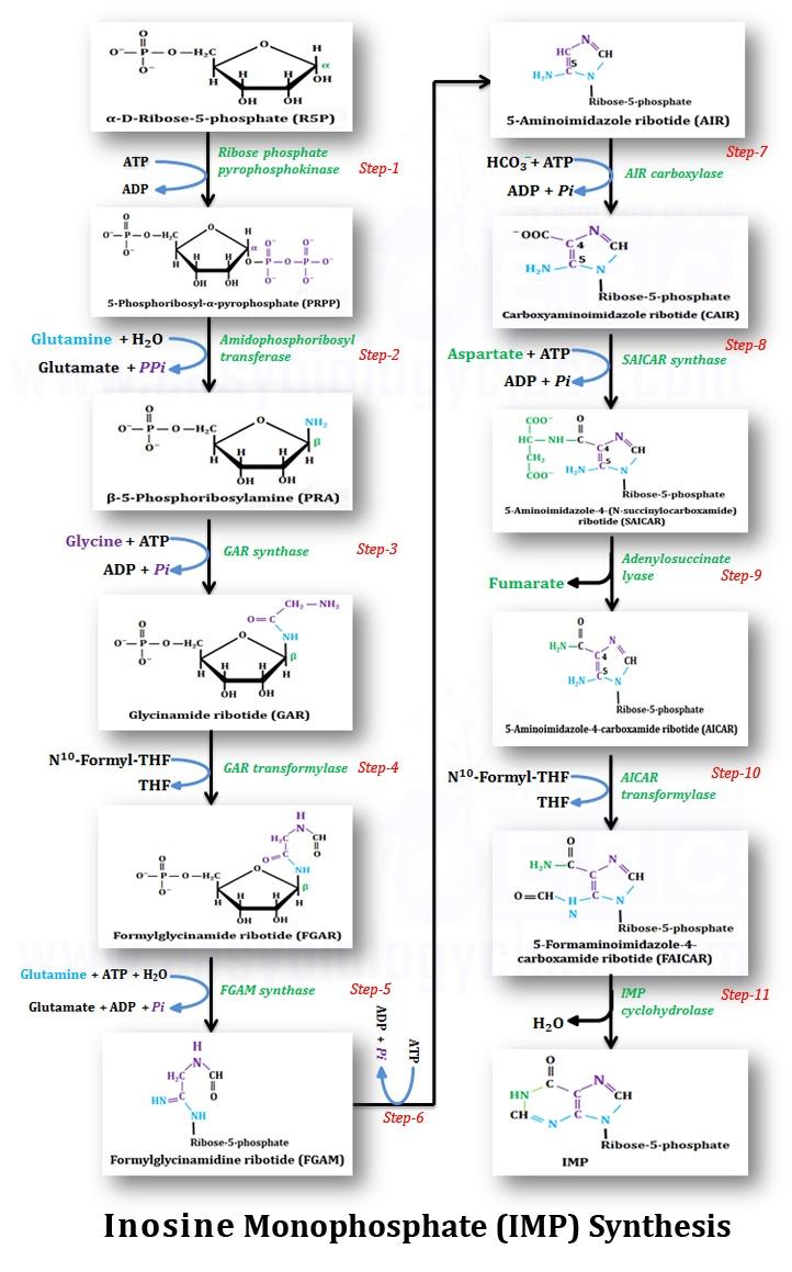 hight resolution of de novo synthesis of imp