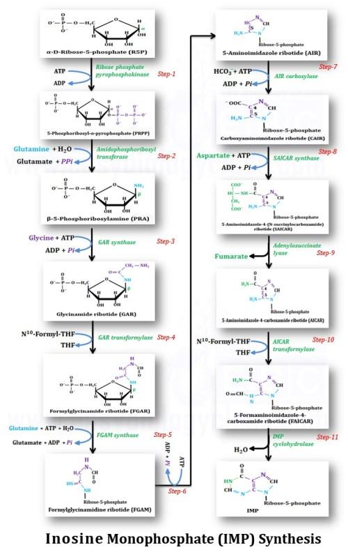 small resolution of de novo synthesis of imp