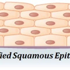 Stratified Columnar Epithelium Diagram Ray And Skate Types Of Epithelial Cells With Examples Easybiologyclass Example