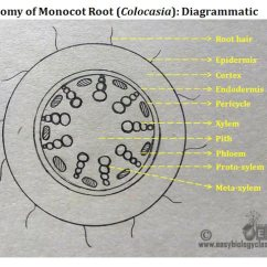 Plant Pith Diagram Cross Section Labeled Of An Atom Monocot Root Structure With Ppt Easybiologyclass