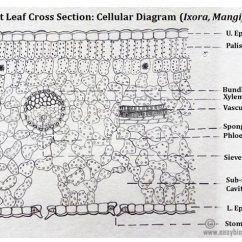 Vascular Anatomy Diagram Lower How To Wire A Single Pole Switch Ts Of Dicot Leaf Under Microscope (ppt) | Easybiologyclass