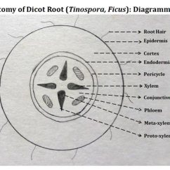 Dicot Root Diagram Wiring For 7 Pin Flat Trailer Connector Labeled Easybiologyclass Record