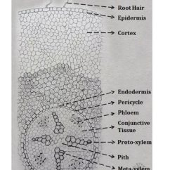 Monocot Root Cross Section Diagram Composite Key In Er Difference Between Stem And Anatomy | Easybiologyclass