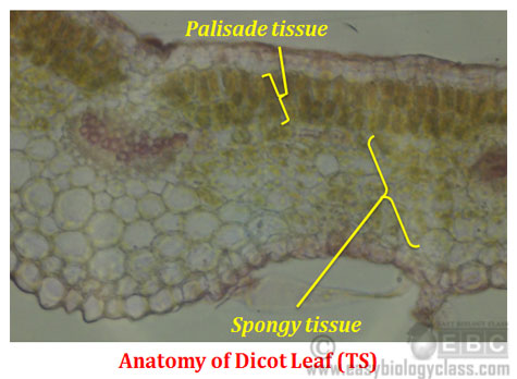 mesophyll cell diagram thoracic muscle anatomy difference between dicot and monocot leaf | easybiologyclass